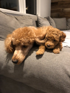 Beautiful Red Miniature Poodle Puppy