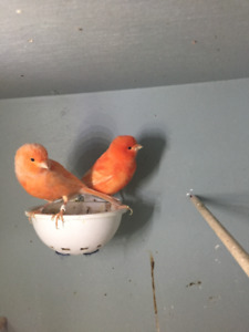 Canaries----ALL SOLD