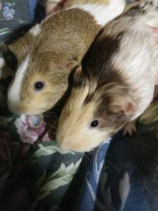 Lovely guinea pigs for sale