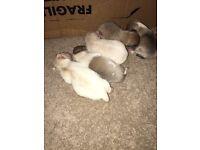 Chihuahua puppies 4 girls 1 boy