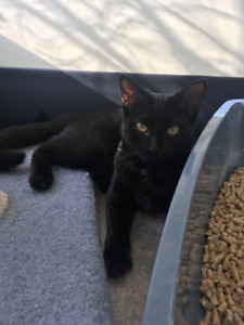 BLACK CAT LOST EAST PRESTON