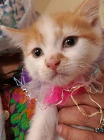 American short hair white and black kitten. Rare lovely, playful, cute