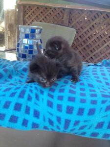 siamese munchkin cross kittens