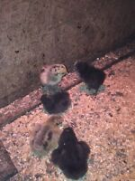 CHICKS FOR SALE!!!!