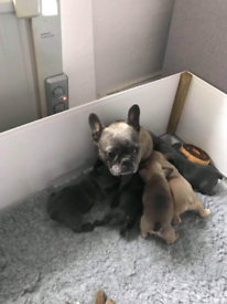 French BullDog Puppies - READY TO GO