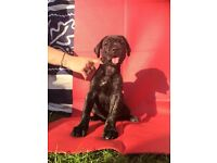 Cane Corso pups ready now