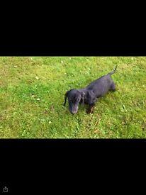 Dash hound puppy
