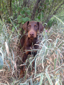 Doberman Puppies For Sale ~ Last Year For Tail Docking In Quebec