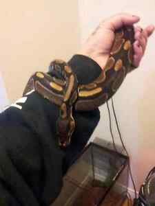 ball python,terrarium,and everything with it need gone asap