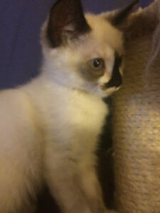 1 Beautiful Munchkin X Siamese Kitten Left