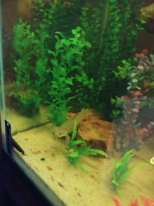 Bichir for sale