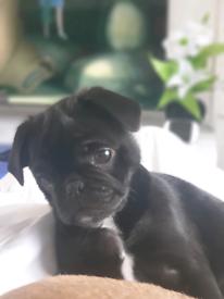 Beautiful Pug boy