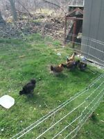 5 silkies for sale