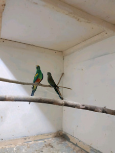 Parakeets for sale!