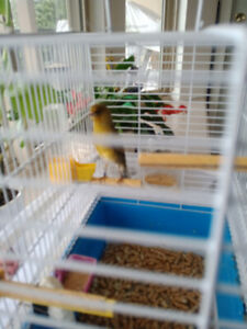 Canary x sickin finches (male)