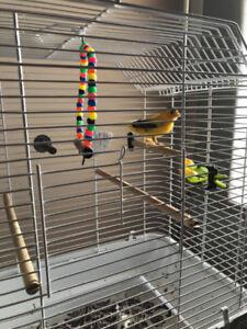 Canari jaune et noir
