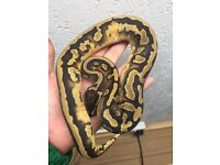 Royal python puma,superstripe,pied,albino
