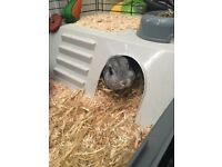 Chinchilla Rabbit