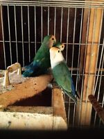 2 breeding  pairs love birds with cage and nest Box