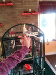 Lovely Cockatiels For sale