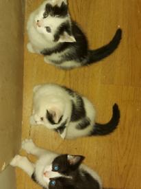 Beautiful Chunky Tuxedo Kittens