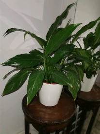 Peace lily plant with pot