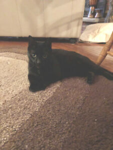 Loving Black Strong Male Cat (FREE)
