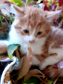 Maine Coon X and BSH mixture kittens for sale.Only 1 kitten left!!!