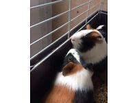 Loving Guinea pigs for sale