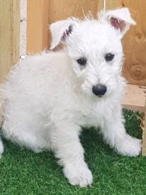 Westie westhighland pup