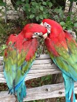 Baby Greenwing Macaws