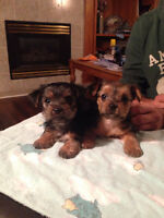 Yorkie Puppies - Only 3 left, 2 females, 1 male