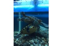 2 X Yellow Back Turtles with 5ft Fluvel Tank
