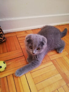 Short hair scottish fold male