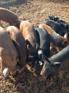 Bargain price for gorgeous heritage weaner pigs.