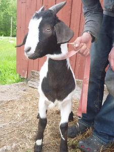 Stunning Black and White Boer X Buckling