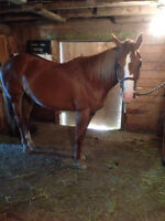 11 year old Registered Chestnut Mare