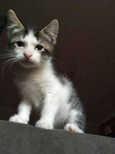 AK1766 : Chance - KITTEN FOR ADOPTION - Expressions Of Interest Joondalup Joondalup Area Preview