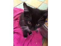 Black and white kitten £40