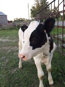Holstein steer for sale  Peterborough Peterborough Area image 4