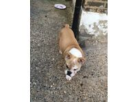 Pedigree English Bulldog Female