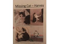 Missing Cat - Tabby & white