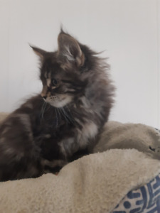 Maine Coon | Adopt or Rehome Pets in Mississauga / Peel