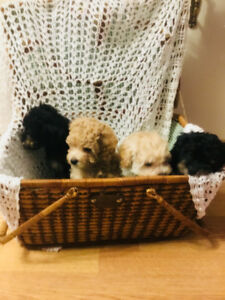 Miniature Poodles Puppies - 9 wks old & READY  to Go!