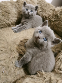 ****ALL RESERVED**** Stunning British shorthair Russian blue kitten