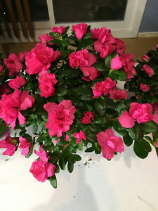 Flowering Houseplants to Welcome in Spring