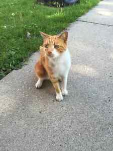 6 yr old Orange Tabby Free to a good home