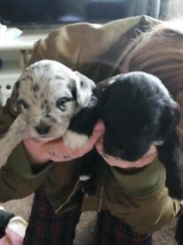 Beddychorkie puppies