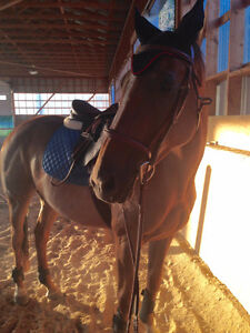 Hanoverian/Tb Mare for Sale Cambridge Kitchener Area image 1
