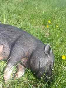 Potbelly pig for sale